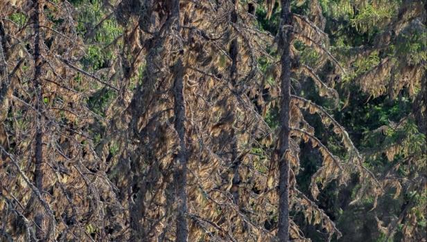 Еловый лес