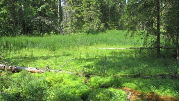 Ключевое болото в верховьях реки Вонюх. Ефимова А.
