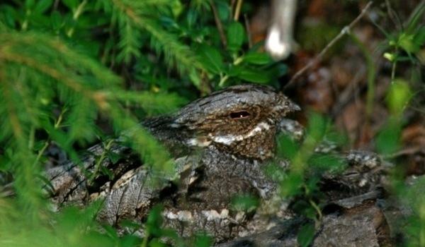 Самка козодоя на гнезде