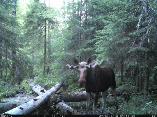 Фото 6. Взрослый самец с выросшими лобными отростками.