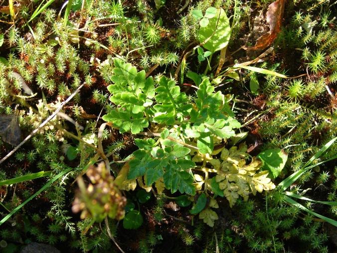 Гроздовник многораздельный (Botrychium multifidum(S.G.Gmel.)Rupr.). Фото Криницина И.Г.