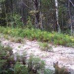 Рысь с рысятами в заповеднике (2017)