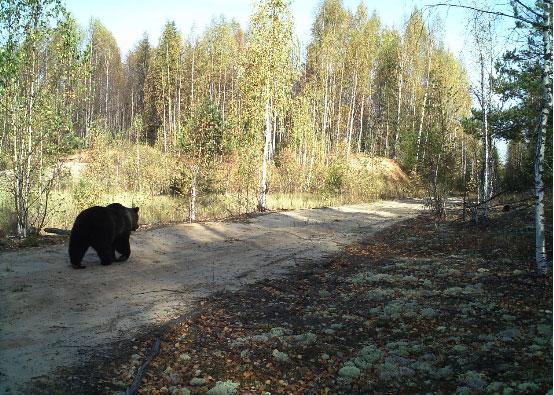 Медведь на дороге.