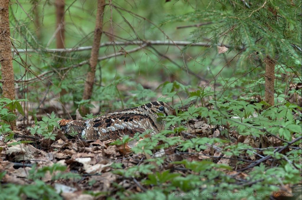 Самка вальдшнепа на гнезде