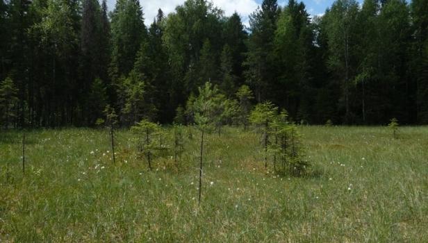 Сфагновое болото на Кологривском участке. Ефимова А.
