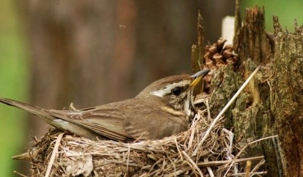 Дорзд белобровик на гнезде