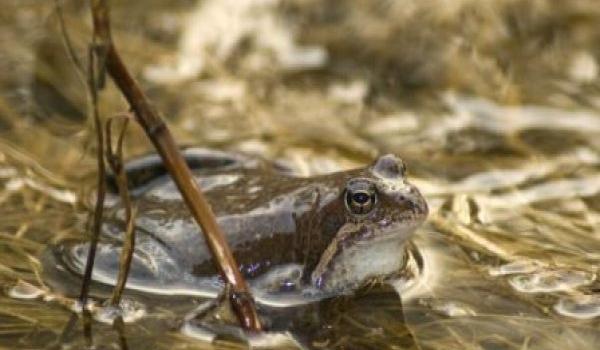 Самка травяной лягушки