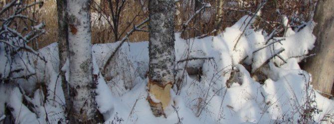 Погрыз бобра на березе фото Чистякова С.А.