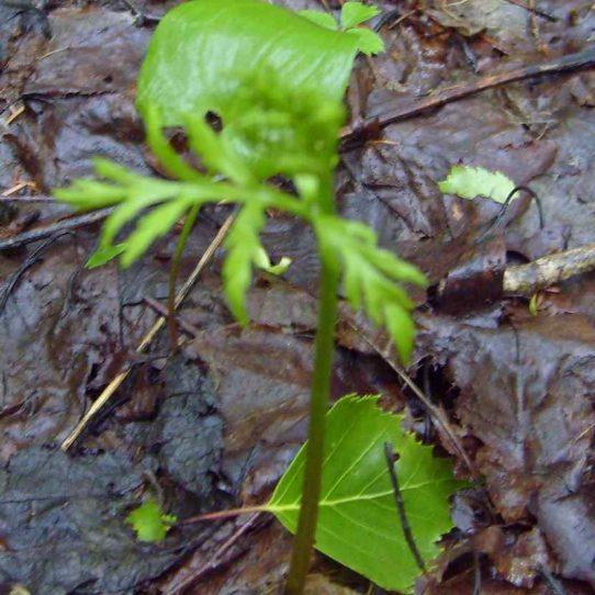 Botrychium lanceolatum (S.G. Gmel.) Angstr. –гроздовник ланцетный.